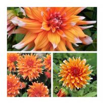 Dahlia Colour Spectacle